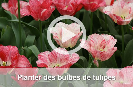 achat de bulbe fritillaire allium amaryllis et jacinthe. Black Bedroom Furniture Sets. Home Design Ideas