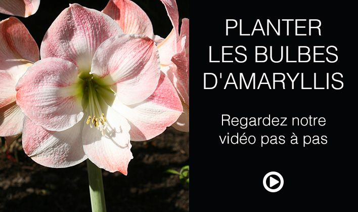 Achat de bulbe fritillaire allium amaryllis et jacinthe for Planter bulbe amaryllis