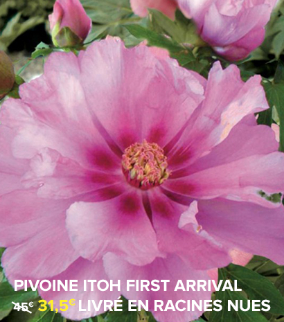 pivoine-itoh-first-arrival