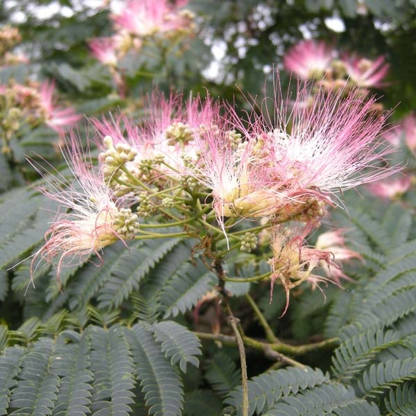 Albizia jul.Summer cho...