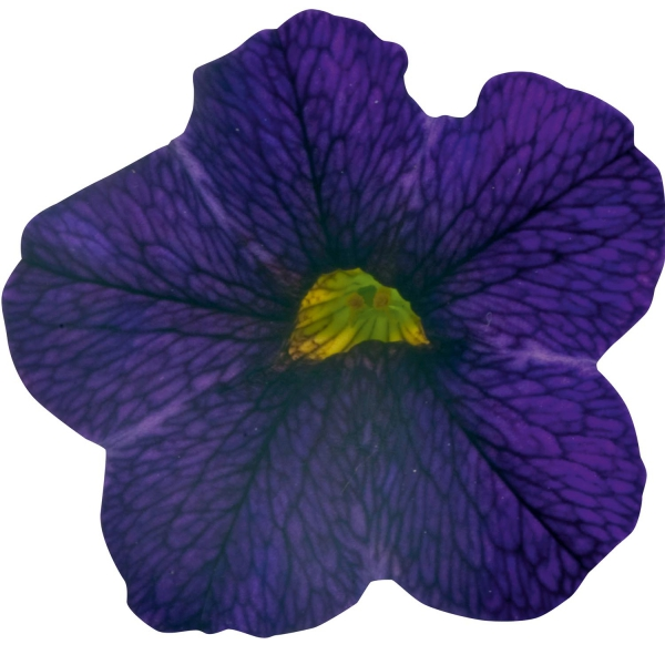 Calibrachoa Sweet Bells Midnight Blue