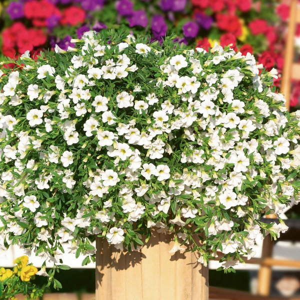 Calibrachoa Sweet Bells Snowberry