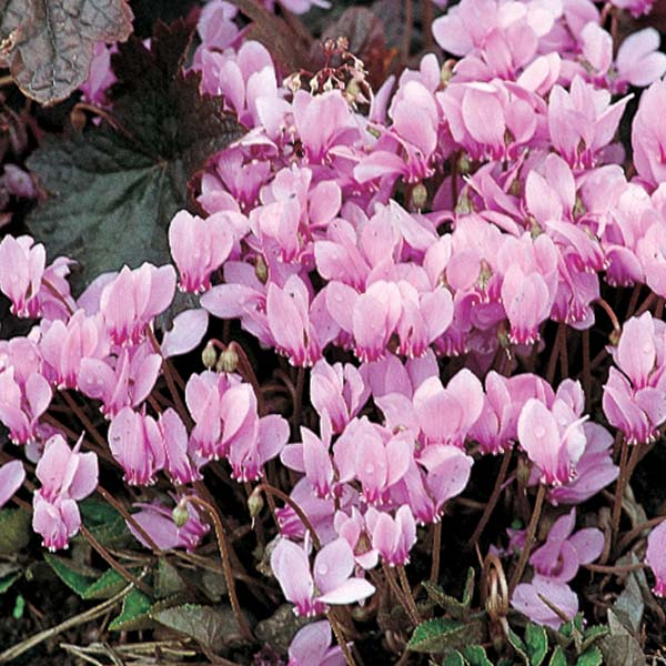 Cyclamen de Naples rose 10+