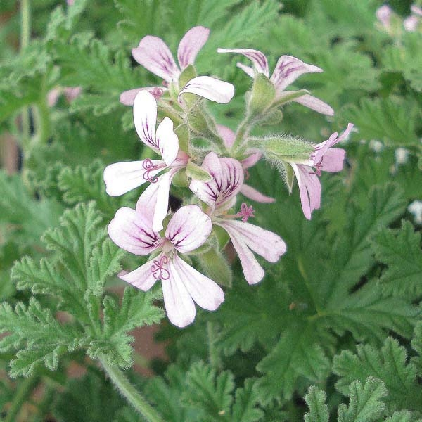 Pelargonium - G�ranium parfum� fragrans Old Spice en pot