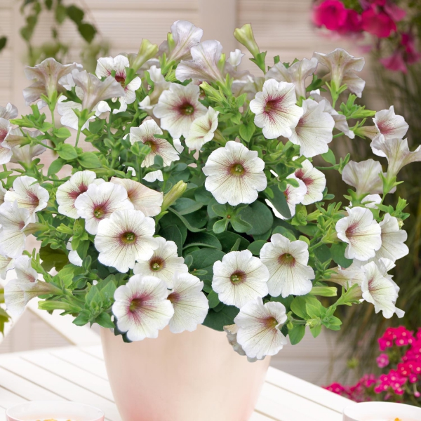 P�tunia Sweet Pleasure Cappuccino Trailing
