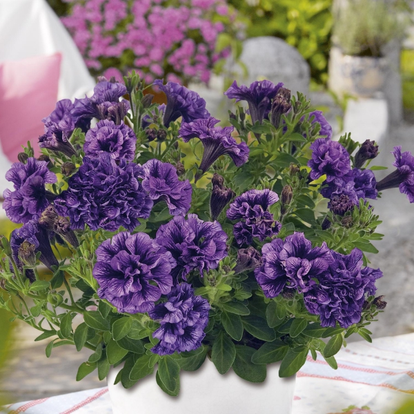 P�tunia Tiny Pleasure Double Amethyst Vein