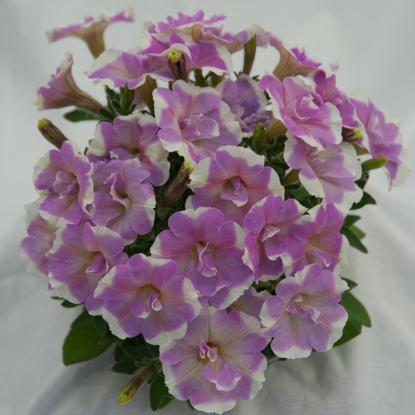 P�tunia Sweet Pleasure Lavender White Circle
