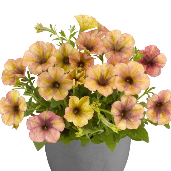 P�tunia Sunpleasure Porch Orange Coral