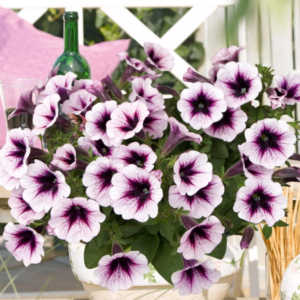 P�tunia Sweet Pleasure Cassis Patio