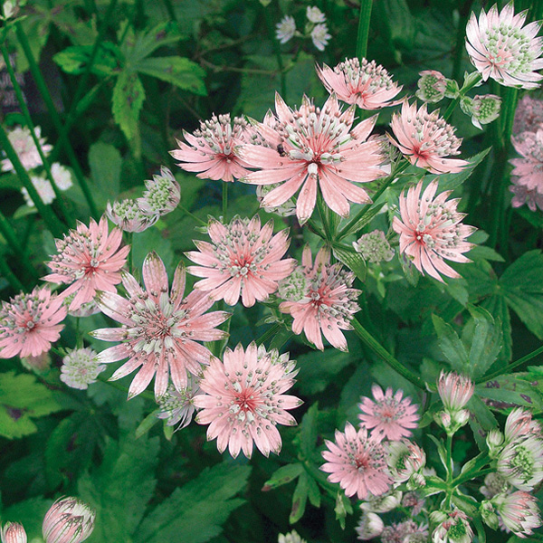 Astrance - Astrantia major Rosea