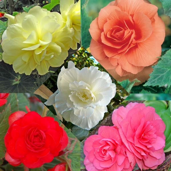 Collection 15 Begonias Grandifloras