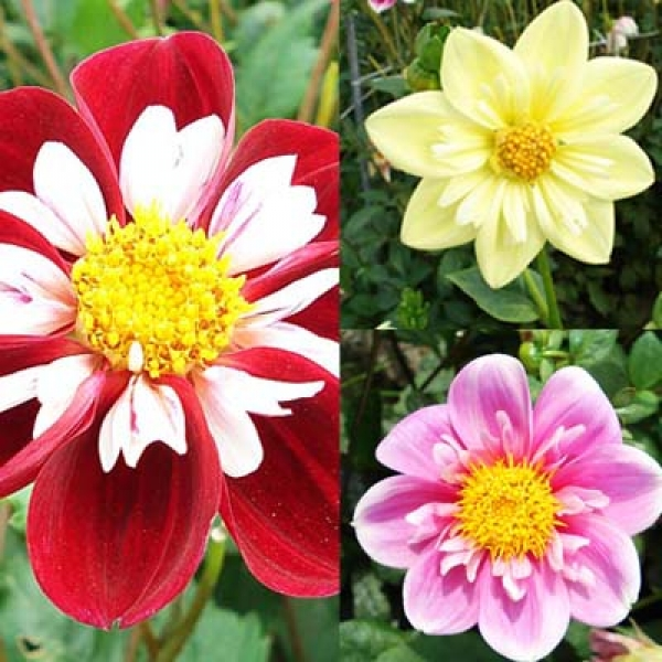 Collection dahlias Collerettes