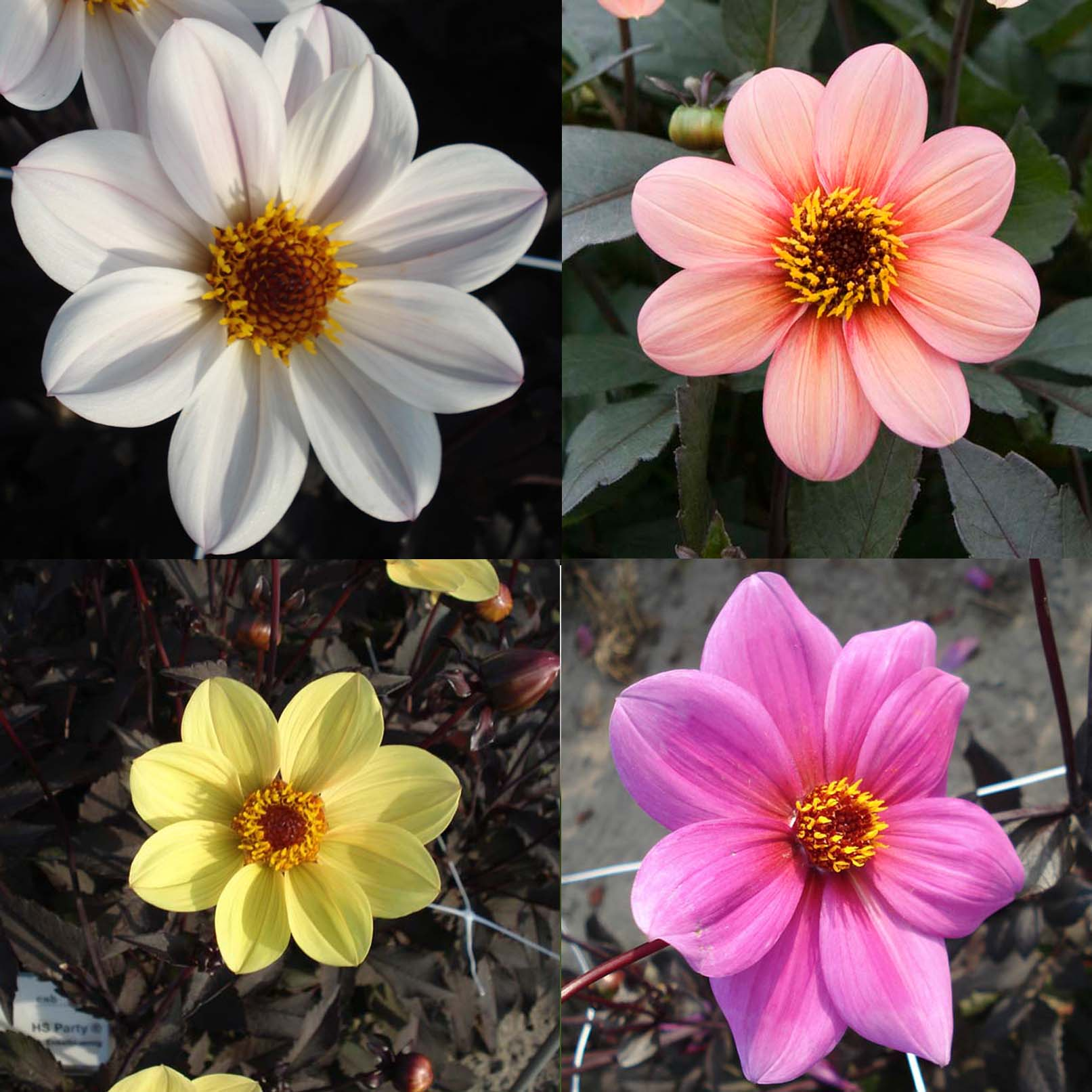 Collection Dahlias Happy Single