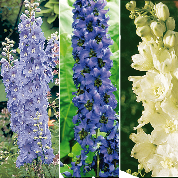 Collection de 6 Delphiniums Pacific
