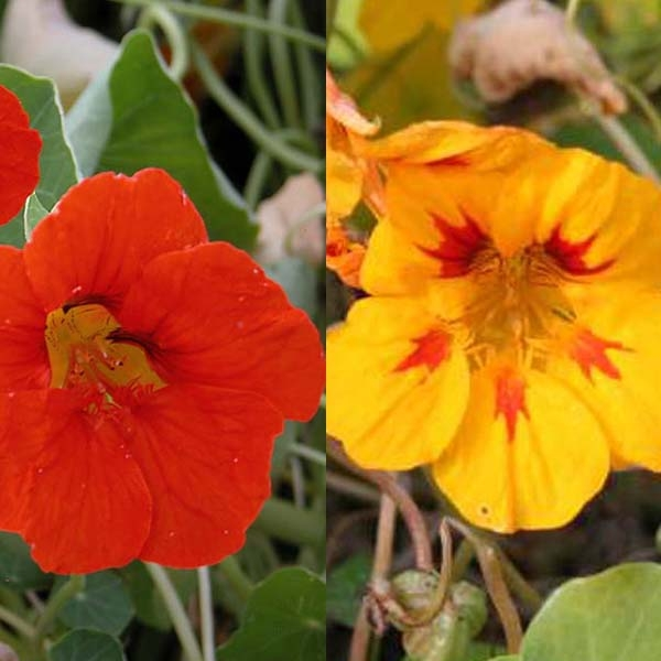 Collection de 5 Grande Capucine (tropaeolum Majus