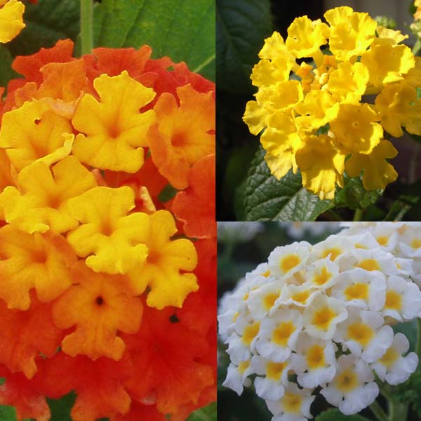 Collection de 5 Lantanas Camara rouge, jaune et blanc