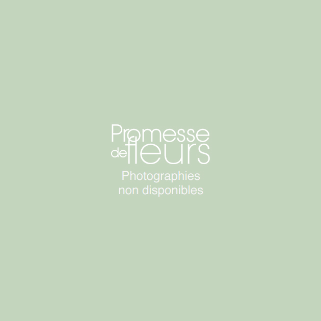 Freesia double blanc