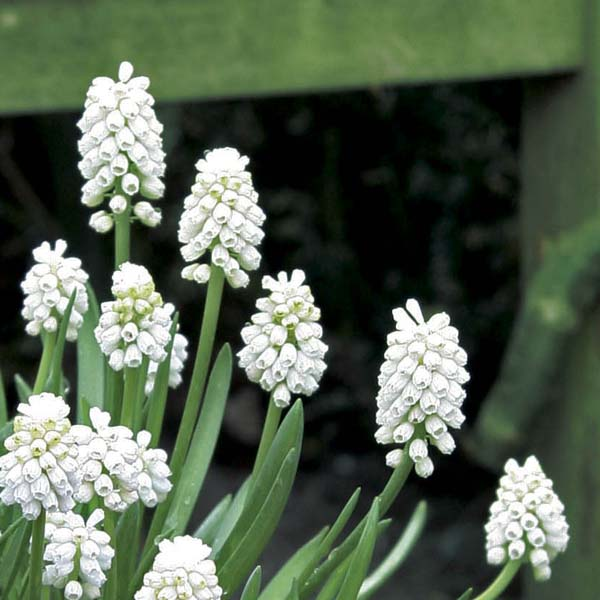 Muscari aucherii White...