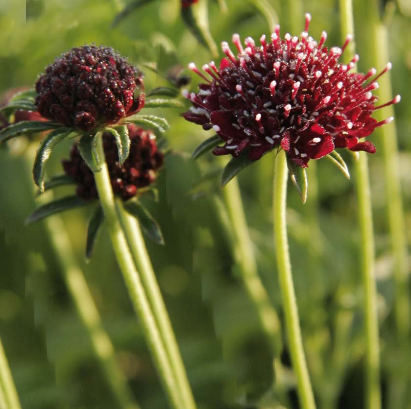Scabieuse - Scabiosa Chile Black